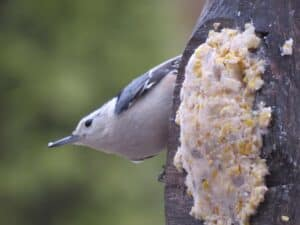 Feed the Birds with a DIY Bird Feeder made from a Coconut - White-breasted nuthatch at suet feeder