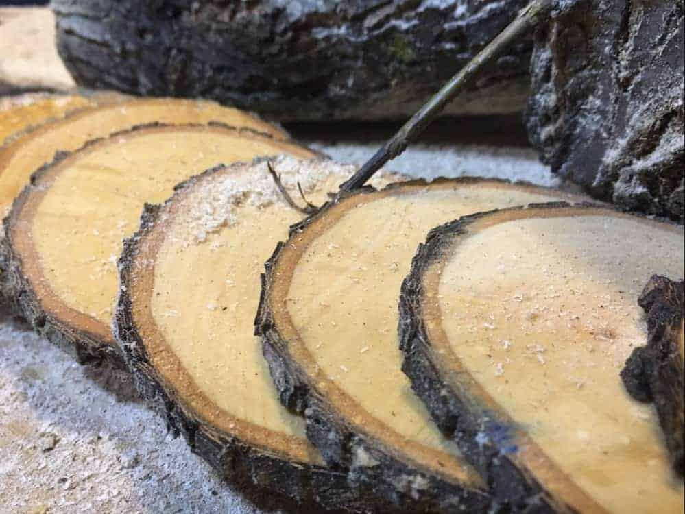 Cut slices of branch (Photo by Erich)