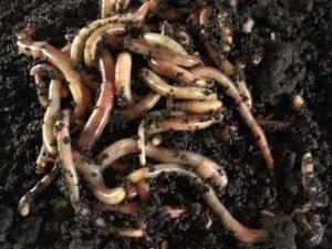 Earthworm - Vermicomposting (Photo by Erich Boenzli)