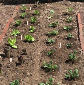 How to grow salad greens - Young lettuce (Photo by Viana Boenzli)