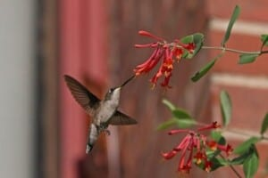 Native plants - Ruby-throated Hummingbird (Archilochus colubris) - (Photo by Dave Brandes)