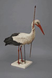 Bird Migration - White Stork (Ciconia ciconia) with arrow through neck (Source: Zoologische Sammlung der Universität Rostock)