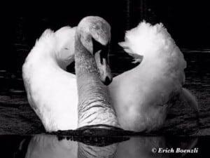 Go Birding - Mute Swan (Cygnus olor) - (Photo by Erich Boenzli)