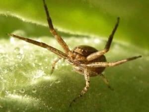 Garden Spiders - Flower Spider (Misumena vatia) showing off (Photo Erich Boenzli)
