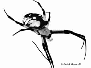 Garden Spiders - Yellow Garden Spider (Argiope aurantia) - (Photo by Erich Boenzli)