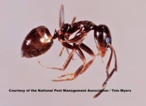 How to get rid of ants - Argentine Ant