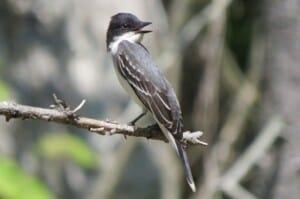 Bird Songs - Eastern Kingbird (Tyrannus tyrannus) - (Photo by Erich Boenzli)