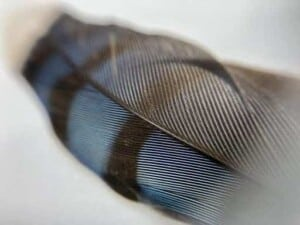 How Birds Use Colors and Patterns to Attract Mates and Avoid Predators - Feather from a Blue Jay (Cyanocitta cristata) - (Photo by Erich Boenzli)