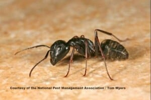 How to get rid of ants - Carpenter Ant