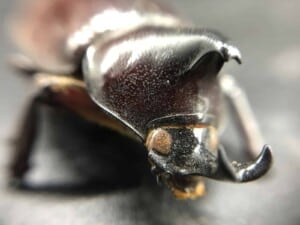iPhone Camera Accessory - Rhinoceros Beetle (Photo by Erich Boenzli)