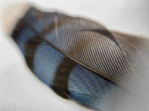 iPhone Camera Accessory - Blue Jay Feather (Photo by Erich Boenzli)