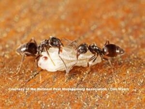 How to get rid of ants - Odorous Ant