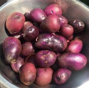 Garden Vegetables - Harvest of our purple potatoes (Photo by Viana Boenzli)
