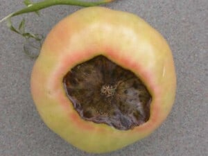 Tomatoes - Blossom end rot (Image courtesy of Missouri Botanical Garden)