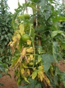 Tomatoes - Fusarium Wilt (Image courtesy of Seminis)