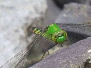 Dragonfly - Female Eastern Pondhawk (Erythemis simplicicollis) - (Photo Erich Boenzli)