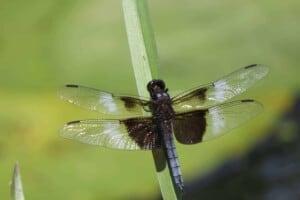 Dragonfly - Widow Skimmer (Libellula luctuosa) - (Photo by Erich Boenzli)