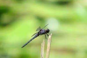 Dragonfly - Slaty Skimmer (Libellula incesta) - (Photo by Erich Boenzli)