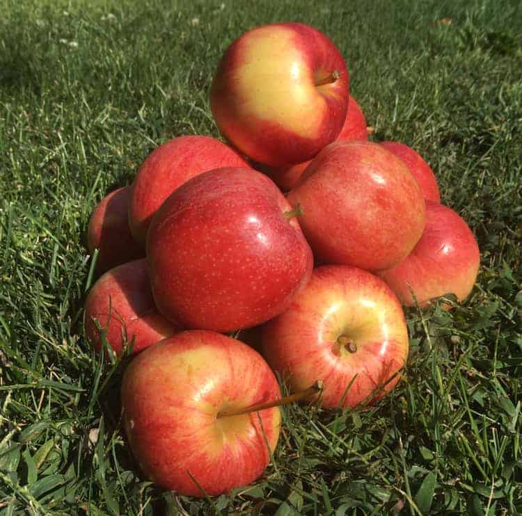 Applesauce and apple butter - I love this time of year! (Photo by Viana Boenzli)