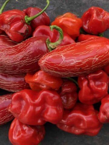Hot Sauce - Freshly harvested jalapeños and habaneros (Photo by Erich Boenzli)