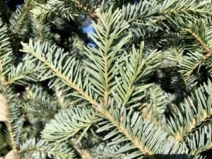 Tannenbaum - Douglas Fir is neither a fir, pine, nor spruce tree - it's a false hemlock (Photo by Erich Boenzli)