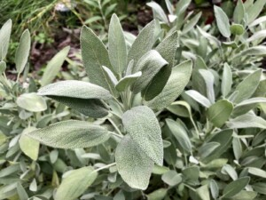 Compound Butter - Sage, one of my favorite perennial herbs (Photo by Erich Boenzli)