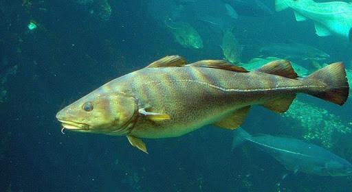 Oven Baked Cod - Atlantic Cod (Gardus morhua) - (Photo by Hans-Petter Fjeld (CC-BY-SA)