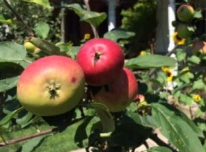 Perennial Vegetables - Apples growing on our tree (Photo by Viana Boenzli))