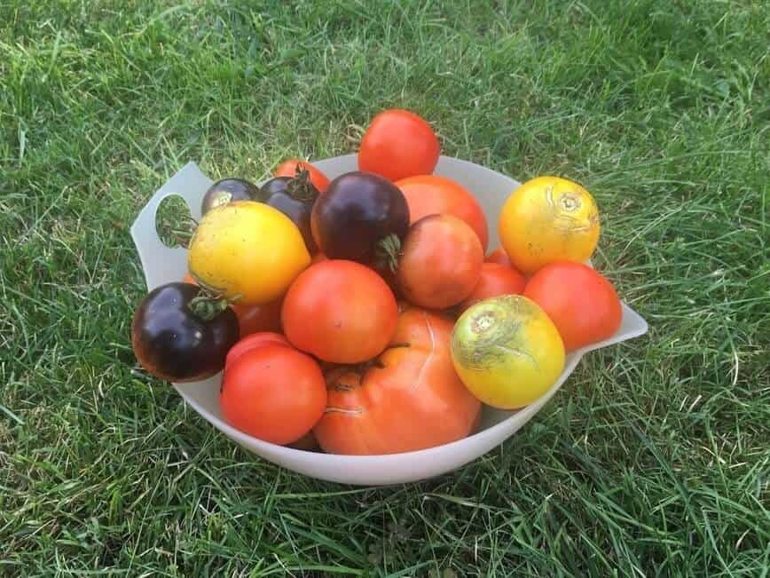 One-day garden harvest of our tomatoes (Photo by Viana Boenzli)