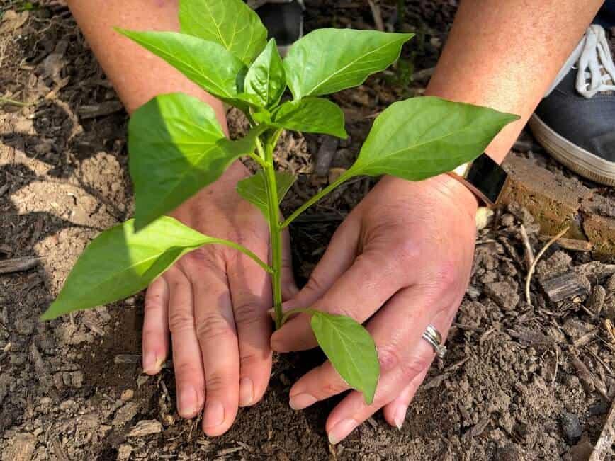 Garden Vegetables - Planting a bell pepper plant (Photo by Erich Boenzli)