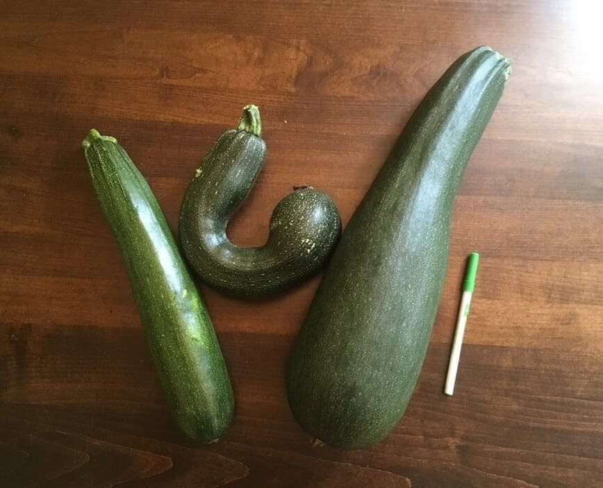 Garden Vegetables - A few of our zucchini (pen for size reference) - (Photo by Viana Boenzli)