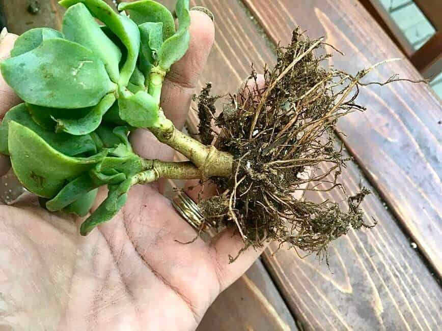 Birdcage Planter - Soil removed from plant roots (Photo by Viana Boenzli)