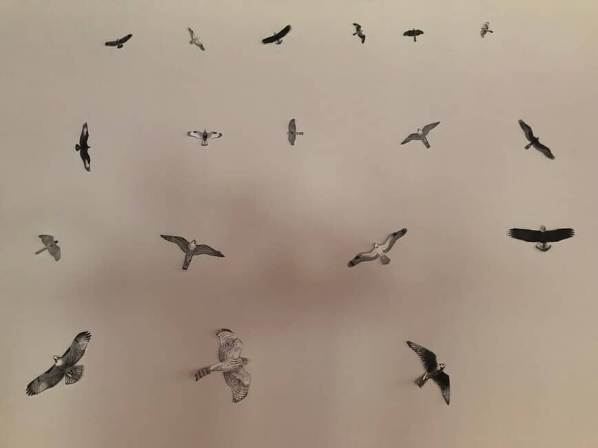 Raptors Migration - Learn your silhouettes