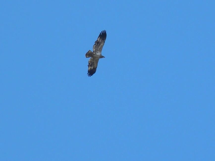 Raptors Migration - Immature Bald Eagle (<em>Haliaeetus leucocephalus</em>) - (Photo by Erich Boenzli)