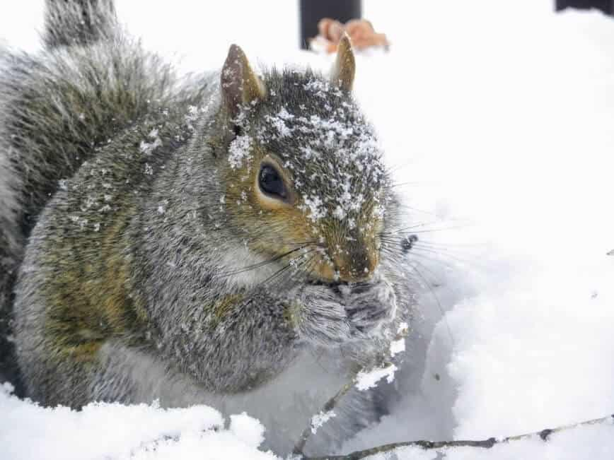 Do squirrels hibernate - Eastern Gray Squirrel (Sciurus carolinensis) digging up cached food (Photo by Erich Boenzli)