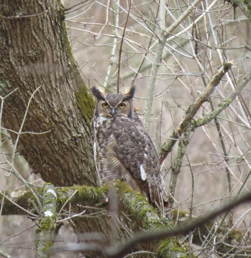 Great Horned Owl (Bubo virginianus) - (Photo by Erich Boenzli)