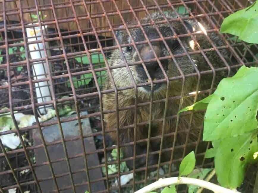 Groundhog - Well hello Mr. Groundhog! (Photo by Viana Boenzli)